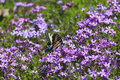 Butterfly and pholx swallowtail feeding on spring purple phlox Royalty Free Stock Images