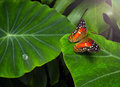 Butterfly photo of a on a leaf Royalty Free Stock Image