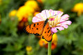 Butterfly on a pink daisy Stock Photography