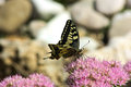 Butterfly on a pink flower Royalty Free Stock Images