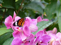 Butterfly on pink flower black and orange sitting orchid Royalty Free Stock Photos
