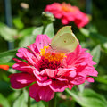 Butterfly on pink flower brimstone zinnia macro shot Royalty Free Stock Photos