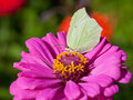Butterfly on pink flower close up female imago brimstone eat nectar zinnia Royalty Free Stock Images