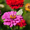 Butterfly on pink flower close up female imago brimstone feed pollen zinnia Stock Photos
