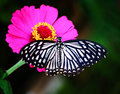 Butterfly on pink flower in Tropical Garden Royalty Free Stock Photo