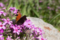 Butterfly on pink flowers close-up