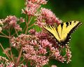 Butterfly pink flowers tiger Stock Images