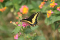 Butterfly on a Pink and Yellow Flower Royalty Free Stock Images