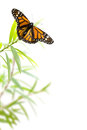 Butterfly on a plant isolated on white, border background Royalty Free Stock Photo