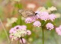 Butterfly pollinating a flower Royalty Free Stock Photography