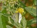 Butterfly pollinating a wild daisy yellow flower Stock Images