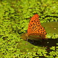 Butterfly on pond Royalty Free Stock Photography