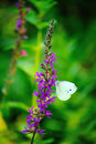 Butterfly on purple flower Royalty Free Stock Photo