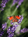 Butterfly on Purple Lavender Flowers Royalty Free Stock Photo