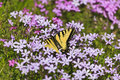 Butterfly and purple pholx swallowtail feeding on spring phlox Royalty Free Stock Images