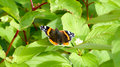 Butterfly red admiral vanessa atalanta Royalty Free Stock Images