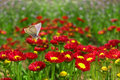 Butterfly on a red flower. Royalty Free Stock Image