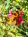 A butterfly on a red flower Royalty Free Stock Photo
