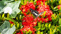 Butterfly with red flower spike gord black and white patterned were caught sucking nectar from and gourd vines Stock Photos