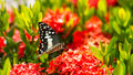 Butterfly with red flower spike gord black and white patterned were caught sucking nectar from and gourd vines Stock Photo