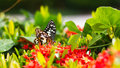 Butterfly with red flower spike gord black and white patterned were caught sucking nectar from and gourd vines Royalty Free Stock Photos