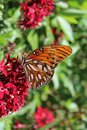 Butterfly on red flower with torn wing Royalty Free Stock Photos