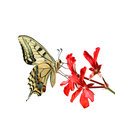 Butterfly on a red flower on a white background Royalty Free Stock Photo