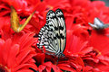 Butterfly on Red Flowers Royalty Free Stock Photo