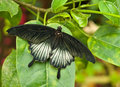 Butterfly resting on tropical leaf Stock Photography