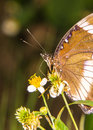 Butterfly resting on a white flower insect Stock Photos