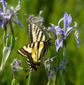 Swallowtail butterfly on Rocky Mountain Iris flower Royalty Free Stock Photo
