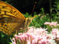 Butterfly silver washed fritillary argynnis paphia Stock Photos