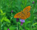 Butterfly Silver-washed Fritillary Argynnis paphia Royalty Free Stock Photo
