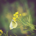 Butterfly sitting on a blooming wildflowers cabbage Royalty Free Stock Photography