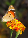 Butterfly sitting on bright spring blossom of marigold flower against blurred dark background Stock Image