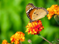 Butterfly sitting on flower Royalty Free Stock Photo