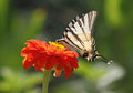 Butterfly sitting on flower scarce swallowtail zinnia Royalty Free Stock Image
