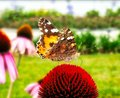 Butterfly sitting on the red flower Royalty Free Stock Photo