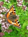 Butterfly Small Tortoiseshell (Aglais urticae) Stock Photography