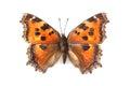 Butterfly - Small Tortoiseshel...