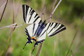 Butterfly southern swallowtail papilio alexanor iphiclides podalirius Stock Images