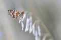 Butterfly spotted fritillary melitaea didyma macro Royalty Free Stock Photos