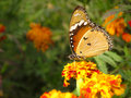 Butterfly spring garden sitting on a orange red marigold flowers against a blurred green background of foliage in Stock Photo