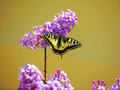 Butterfly spring lila colors and yellow backronund Royalty Free Stock Photography