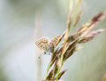 Butterfly on the stem of an ear Royalty Free Stock Photography