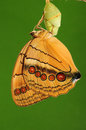 Butterfly stichophthalma louisa femal it is eclosion yellow pupa Royalty Free Stock Photography