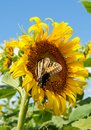 Butterfly on Sunflower Bloom Helianthus Annuus Royalty Free Stock Photo