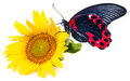 Butterfly and sunflower Royalty Free Stock Photo