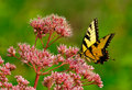 Butterfly Swallowtail pink flowers background Stock Photography