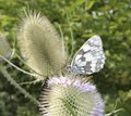 Butterfly on teasel flower outdoor shot showing a black and white at summer time Royalty Free Stock Images